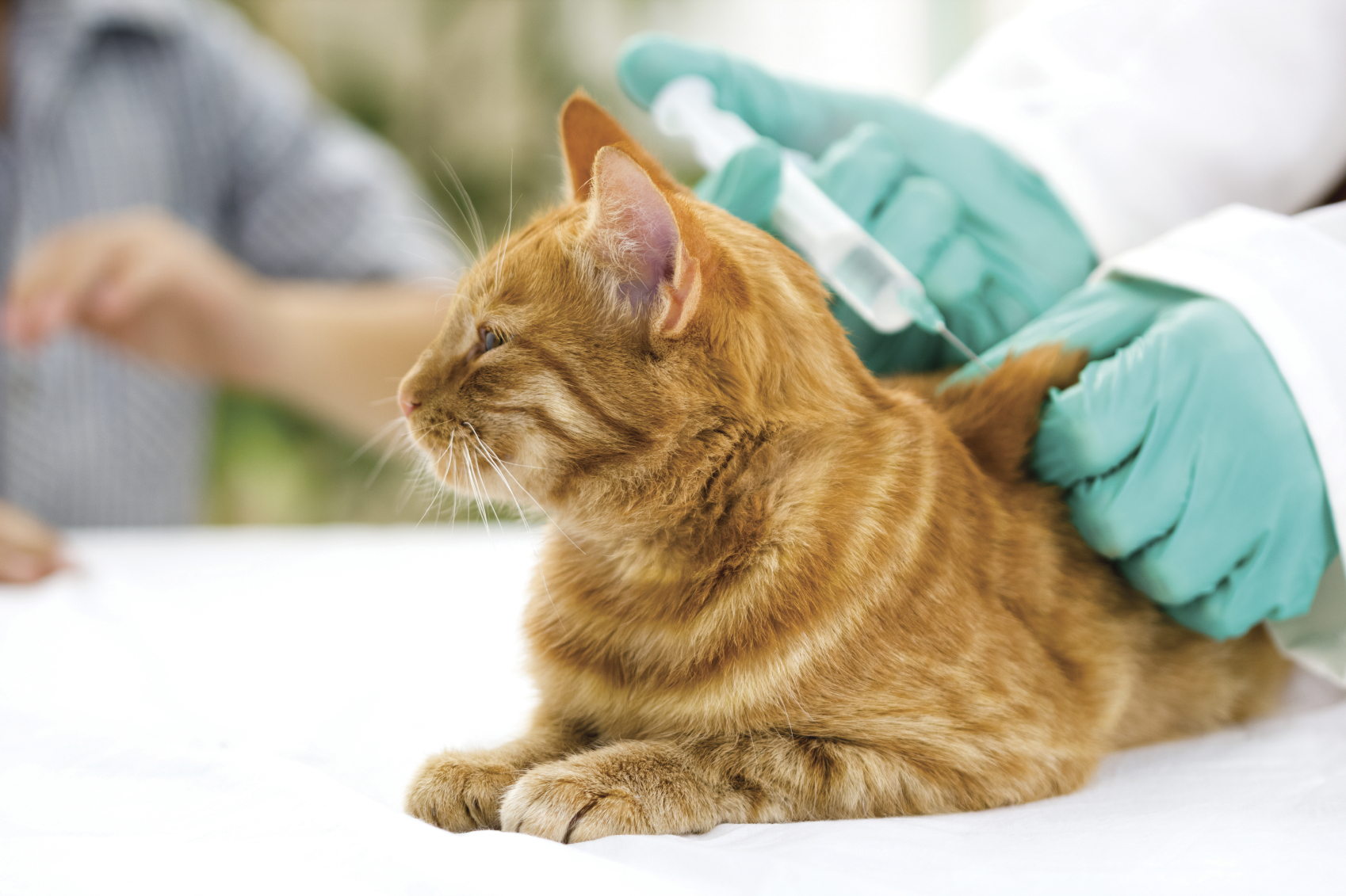 veterinary giving the vaccine to the cat
